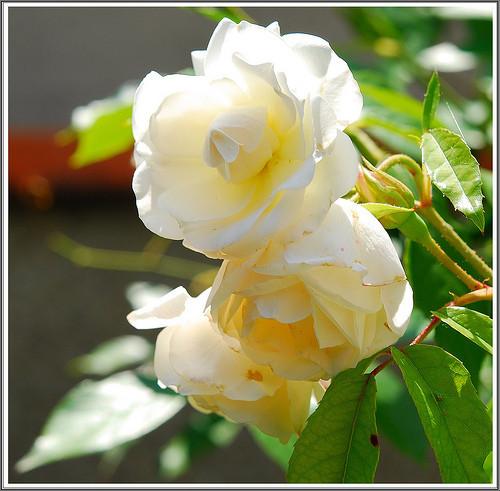 Quelques poemes d 39 amour - Nous n irons plus au bois les lauriers sont coupes ...